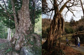 かごの木/七色木